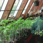 Robert Hart with tomato seedlings for the Vegetable Seedling Distribution